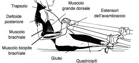 muscoli vogatore