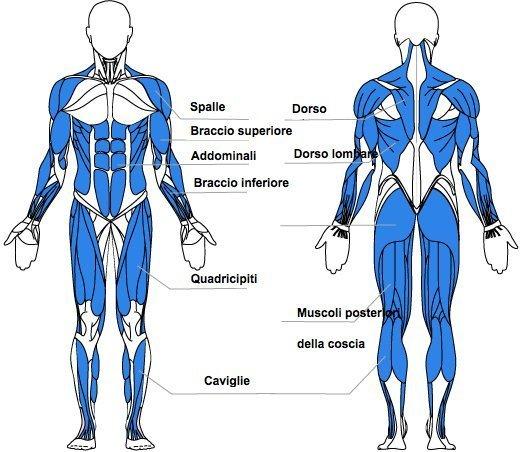 Vogatore - muscoli interessati 3