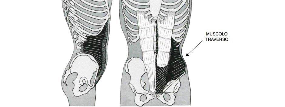 muscolo-traverso