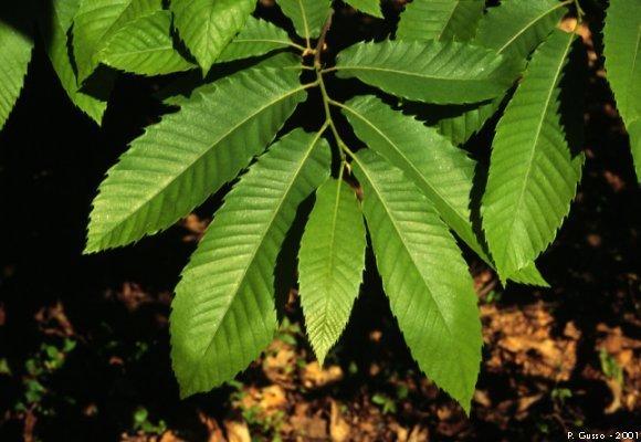 foglie di castagno